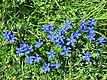 Short-Leaved Gentian