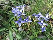 Fringed Gentians