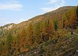 Larches in Autumn Robe